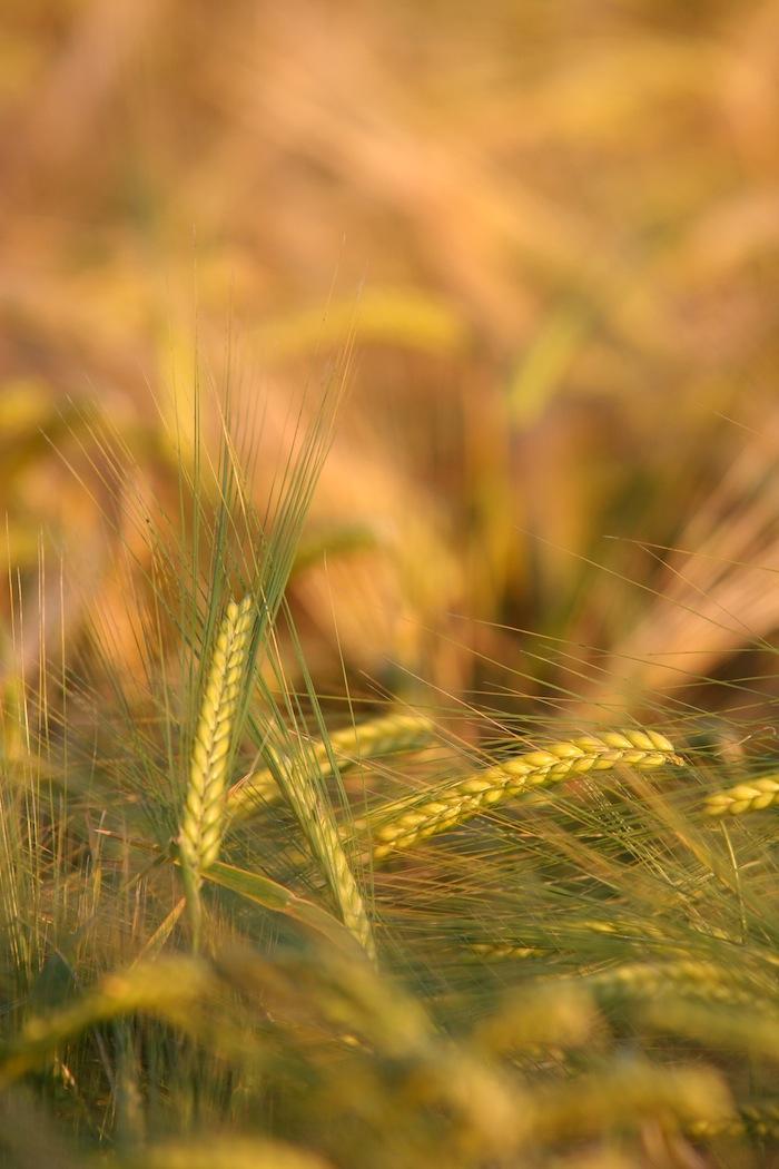 Grain_Kingdom_of_God.jpg